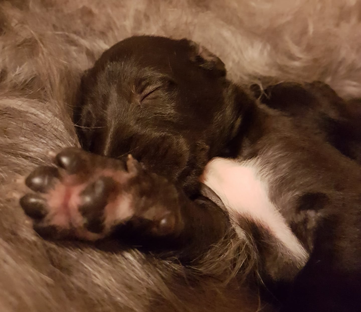 We have deerhound puppies