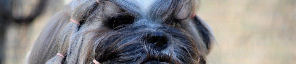 Koiran luovutus tapahtuu pennun eikä omilla ehdoilla