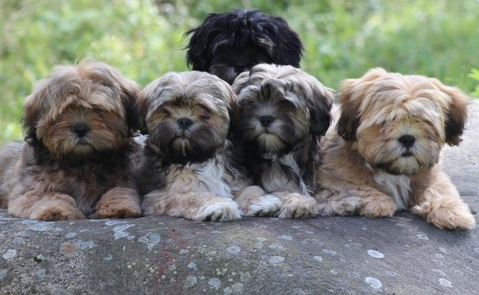 We have interesting line-bred lhasa apso puppies