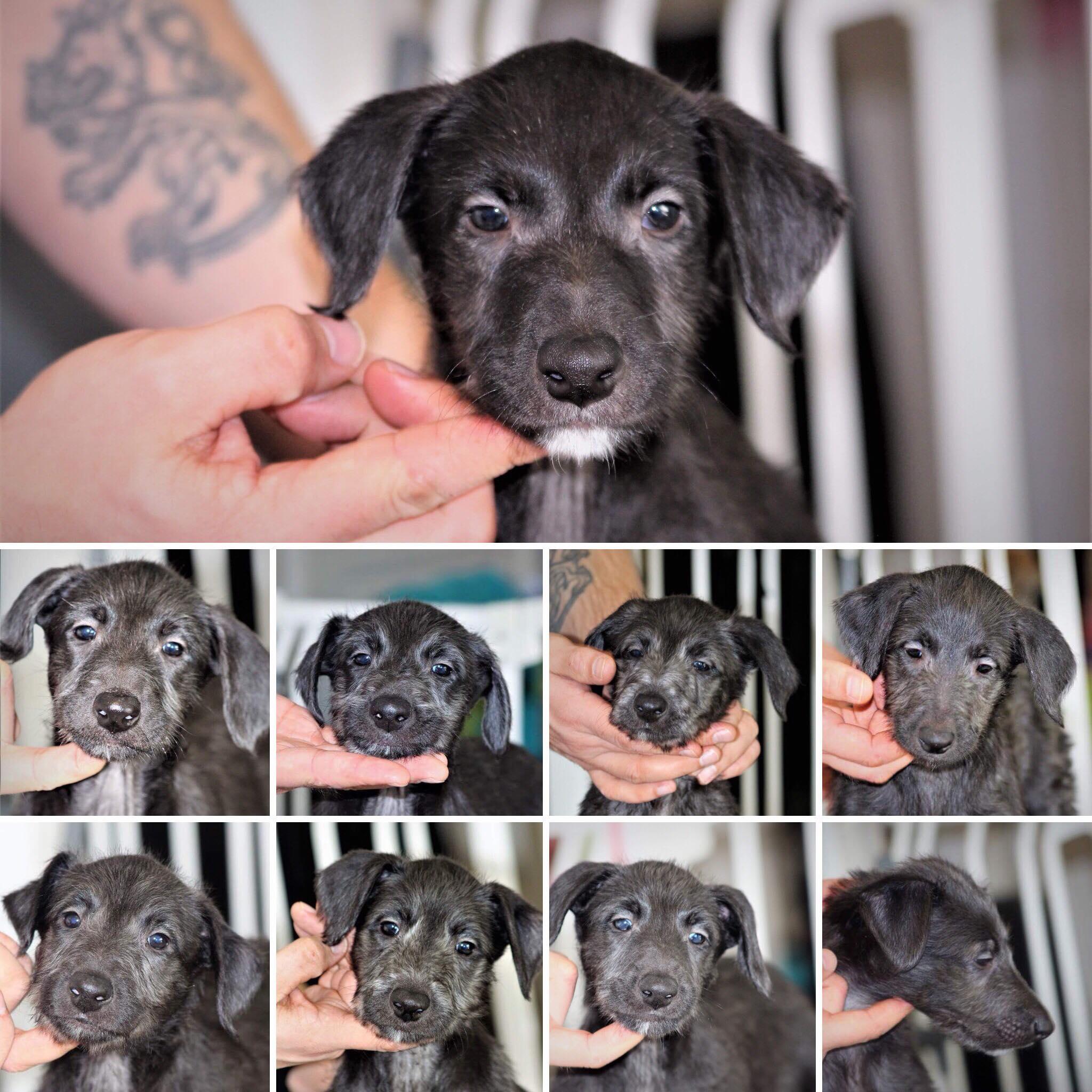 Deerhound puppies 6 weeks – skotlanninhirvikoira pennut 6 viikkoa