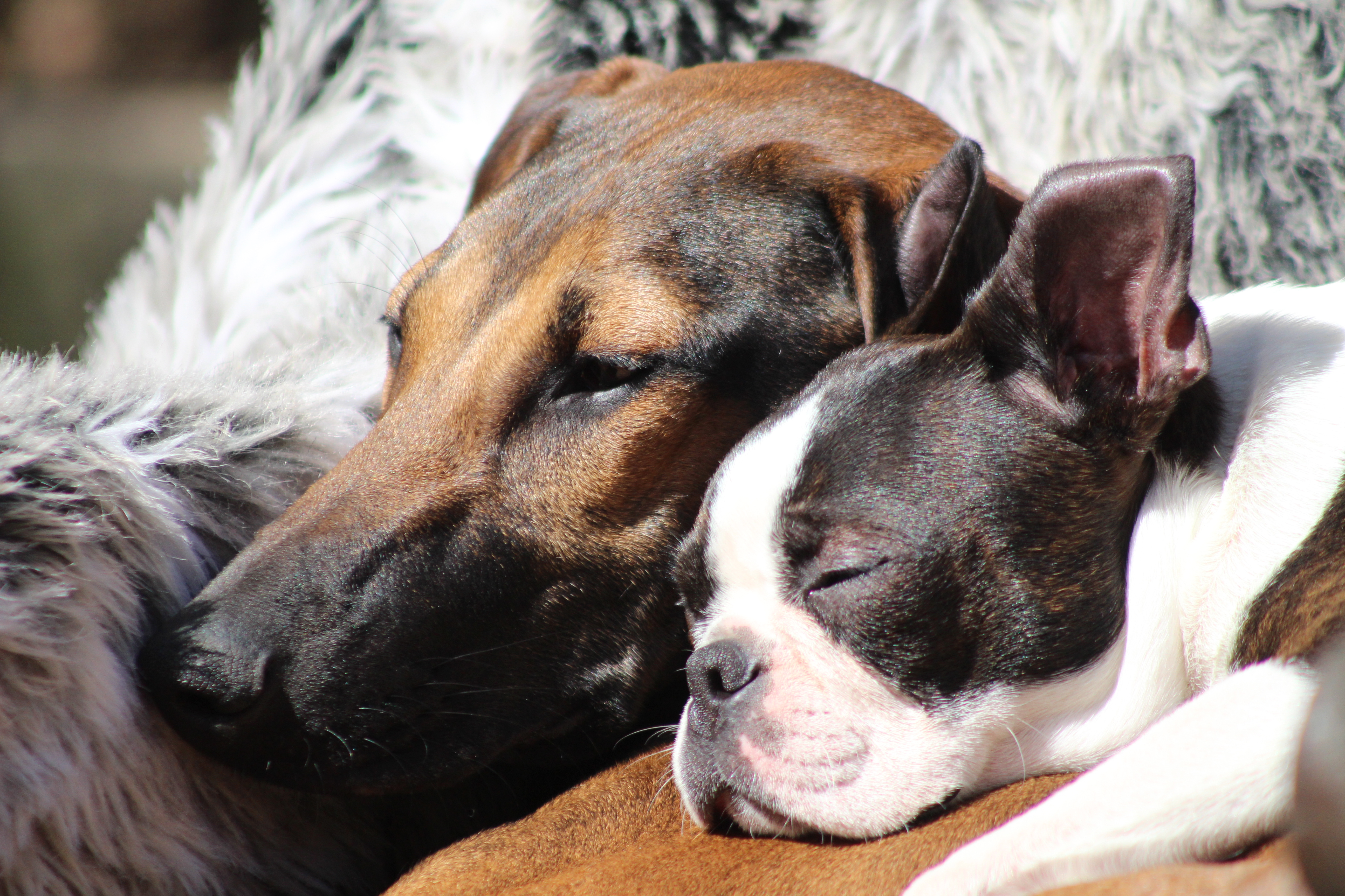 Pheremones do have important role in dog breeding